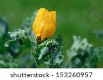 Yellow Horned Poppy  Glaucium...