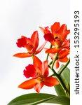 Beautiful Orange Orchid On...