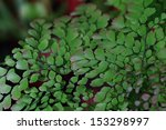 Small photo of Adiantum trapeziforme in Thailand