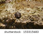 Small photo of Polyplacophora Acanthopleura granulata (clam with chitin cover) with air breath fishes Gobiidae Oxudercinae resting on the rock, Red Sea