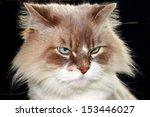 Closeup Portrait Of Birman Cat