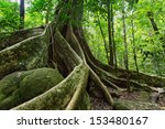 Large Fig Tree Trunk And Roots...