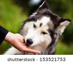 husky  siberian husky  | Shutterstock . vector #153521753