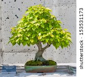 Small photo of A bonsai miniature of an American Hornbeam tree on display at the North Carolina Arboretum. Asheville,NC.