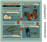 infographics butterfly's  life cycle vector template
