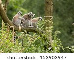 Four Lemur Katas On The Tree...