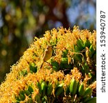 Small photo of Splendid cluster of yellow flowers of wild plant agave fourcroydes with a little bird phylloscopus canariensis between its large stamens and observing carefully around, on blurred natural background