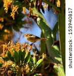 Small photo of Little bird phylloscopus canariensis between the thick branches of a wild plant agave fourcroydes and on a large cluster of yellow flowers, with unfocused natural background
