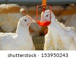 Two Chickens Are Drinking Wate...
