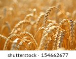 golden ears of wheat on the... | Shutterstock . vector #154662677