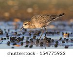 Small photo of American Golden-Plover (Pluvialis dominica) with a worm by the Atlantic ocean