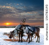 Reindeers Are In Harness Durin...