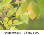 Small photo of Bird Common Iora Aegithina tiphia