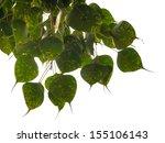 bodhi or peepal leaves on white ... | Shutterstock . vector #155106143
