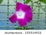 Morning Glory Flower On A Fence