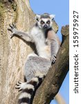 Ring Tailed Lemur  Lemur Catta...