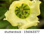 a macro shot of a yellow angel... | Shutterstock . vector #156063377