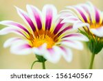 Tiger Striped Gazania Flower ...