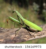 Praying Mantis Insect In Natur...