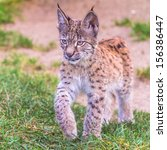 Young Lynx Walking On The Grass