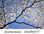 A Flowering Dogwood Tree Bloom...