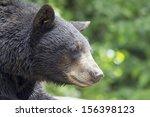 American Black Bear Pacific...