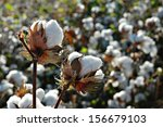 cotton plant ready to harvest | Shutterstock . vector #156679103