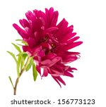 Pink Aster Isolated On White...