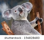 Stock photo koala bear in the zoo 156828683