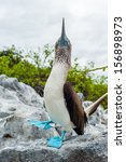 The Blue Footed Booby  Sula...