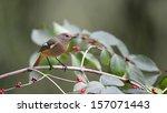 red flanked bush robin | Shutterstock . vector #157071443