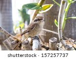 "brown shike bird   common name ""... 