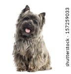 Front View Of A Cairn Terrier...