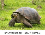 A Giant Galapagos Turtle ...