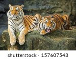 tigers are in the nature of the ... | Shutterstock . vector #157607543