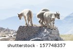 four baby mountain goats on the ... | Shutterstock . vector #157748357