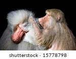 Baboon Grooming Another Closeu...