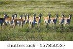 Skittish Pronghorn Antelope...