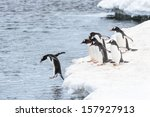 One Gentoo Penguin Jumps Into...