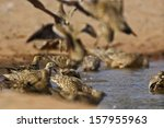 Small photo of Burchells sandgrouse