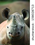 Black Rhinoceros Young Calf