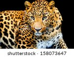 Angry Wild Leopard On Black...