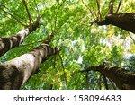 Sunlit Maple Trees From Below