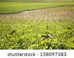 vineyards of the western cape ... | Shutterstock . vector #158097383