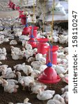 poultry farm with young white...