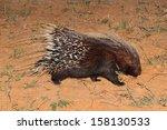 cape porcupine  hystrix... | Shutterstock . vector #158130533