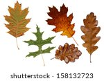 Colorful Autumn Oak Leaves