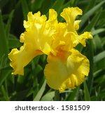 Yellow Bearded Iris In The Sun