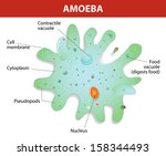 Amoeba unicellular animal with pseudopods that lives in fresh or saltwater. Anatomy of an amoeba. Vector diagram.  - stock vector