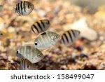 Small photo of Spot damsel fish (Abudefduf sordidus) in Japan